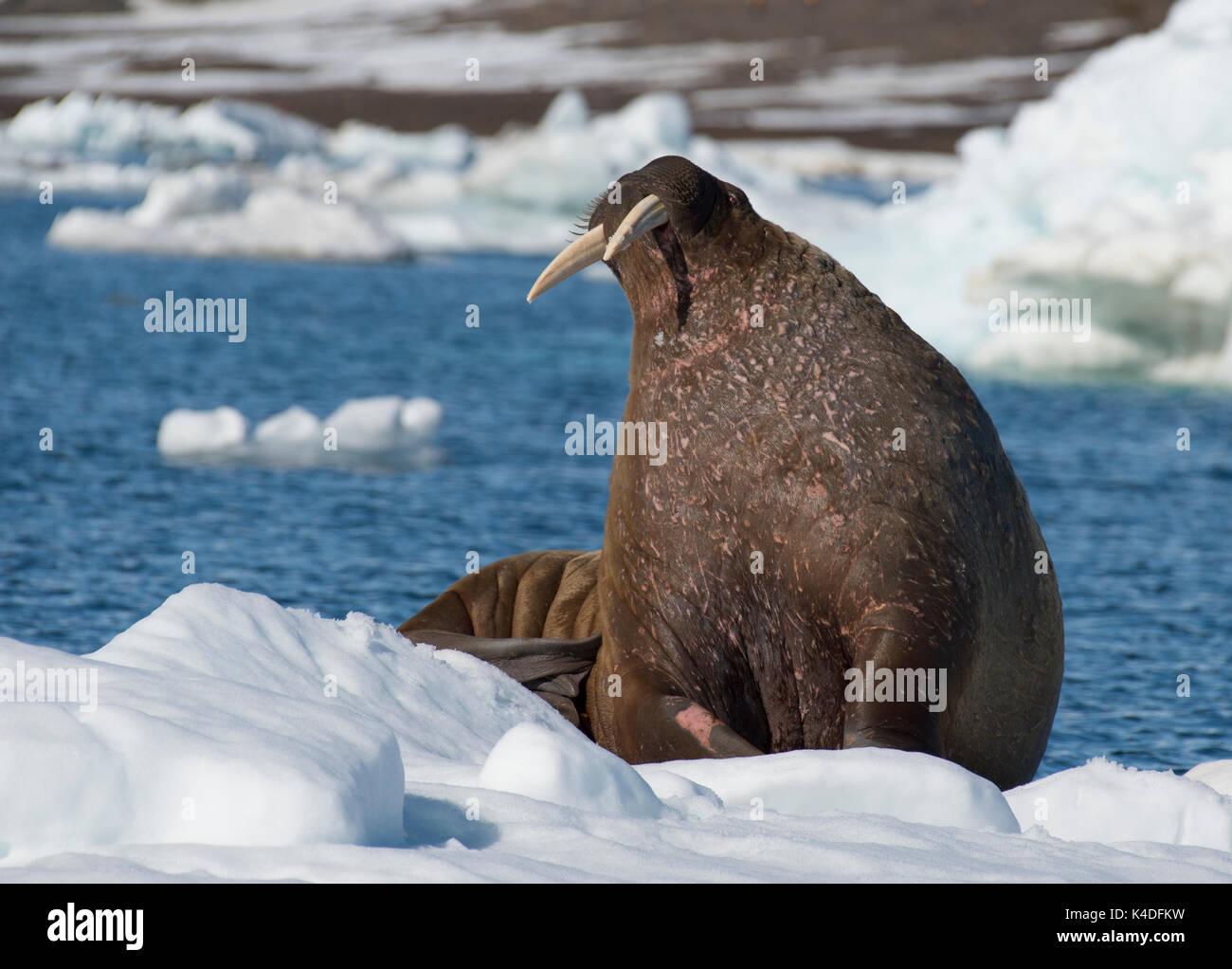 Trichechi sul flusso di ghiaccio in Franz Joseph Land Arctic Immagini Stock