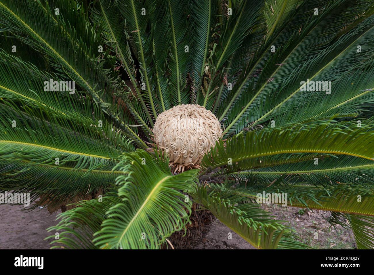 Giardini Pinjor (Yadavindra gardens), costruito per l'Harem del righello. Blooming Cycas revoluta Sago Palm nel giardino. Pinjor, Haryana, India Immagini Stock