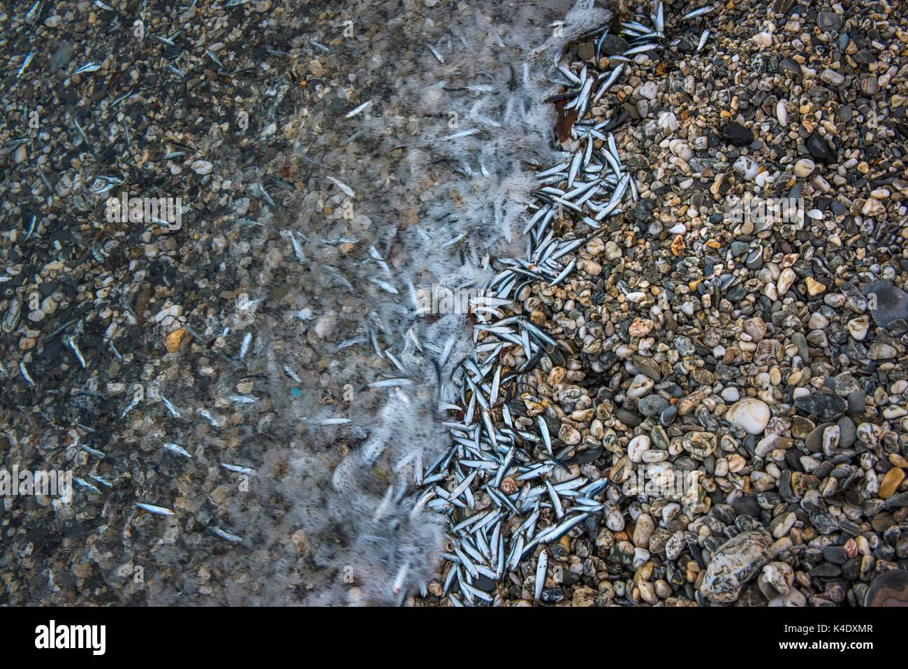 Morendo cicerelli lavato fino sulla riva di una spiaggia di ciottoli. Immagini Stock