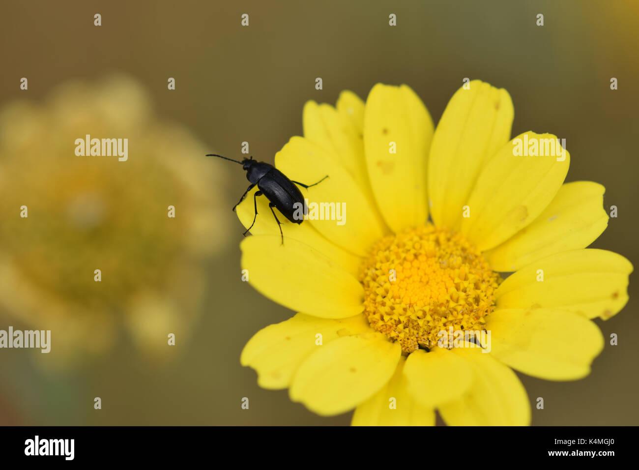 Coleottero nero su giallo petali di fiori. Primavera la natura closeup. Immagini Stock