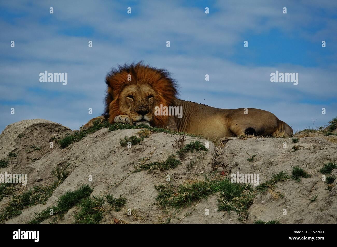 Leone maschio di dormire sulla collina Immagini Stock