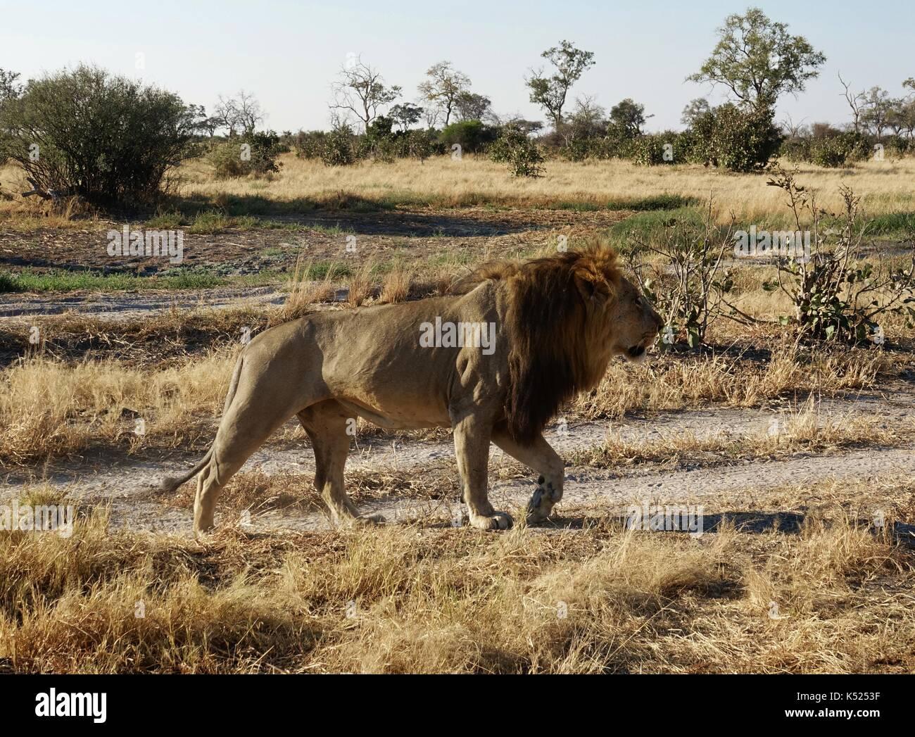 Leone maschio camminando nel sole al mattino Immagini Stock