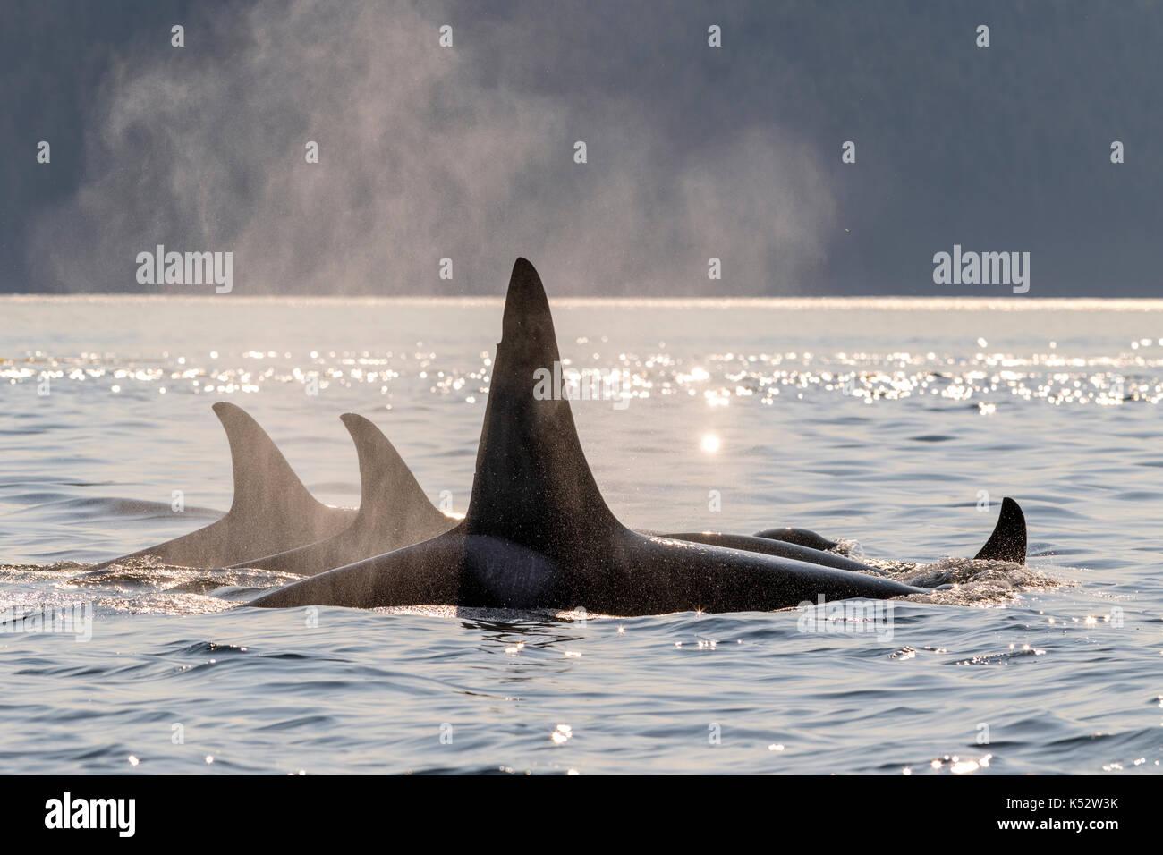 Una famiglia pod del nord residente orche in viaggio in Johnstone Strait in prima serata fuori dall'Isola di Vancouver, British Columbia, Canada. Immagini Stock