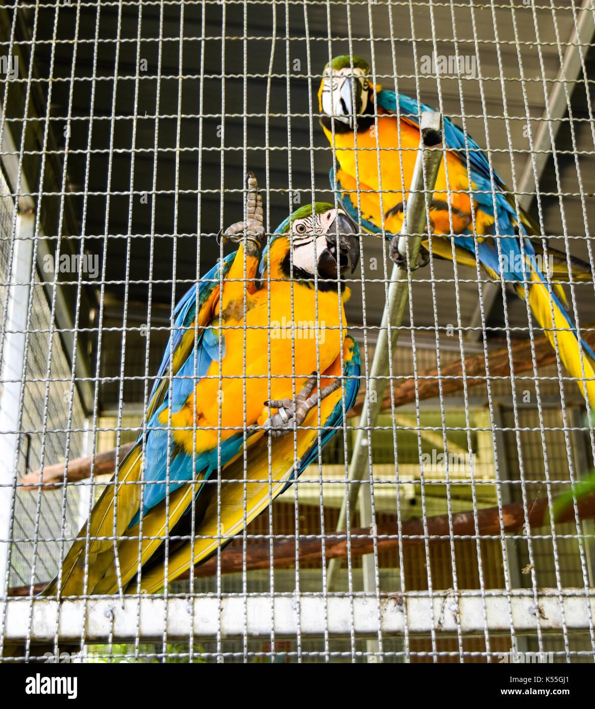 Pappagalli in gabbia nel parco del resort ,belli e peccato. Immagini Stock