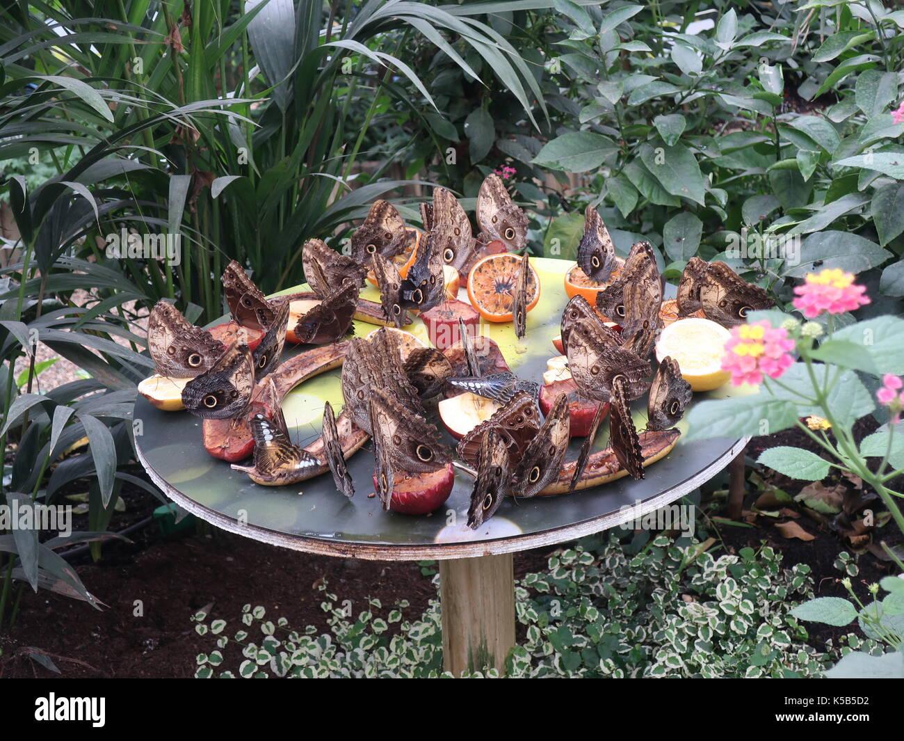 Il gufo pallido farfalle gorge sui frutti la casa delle farfalle, museo di storia naturale di South Kensington, Londra, Regno Unito. Immagini Stock
