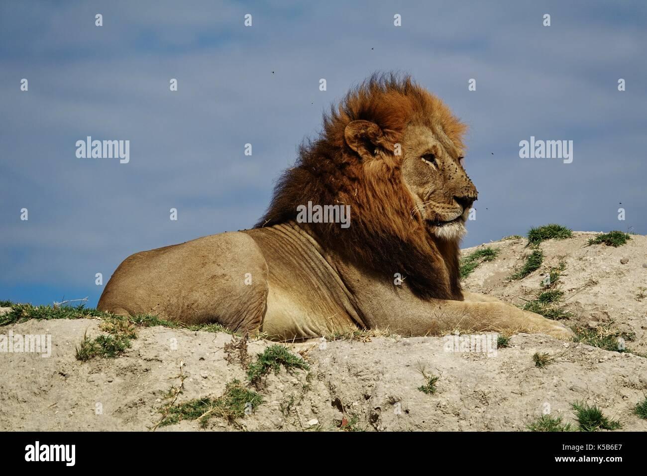 Grande leone maschile seduto sulla collina Immagini Stock