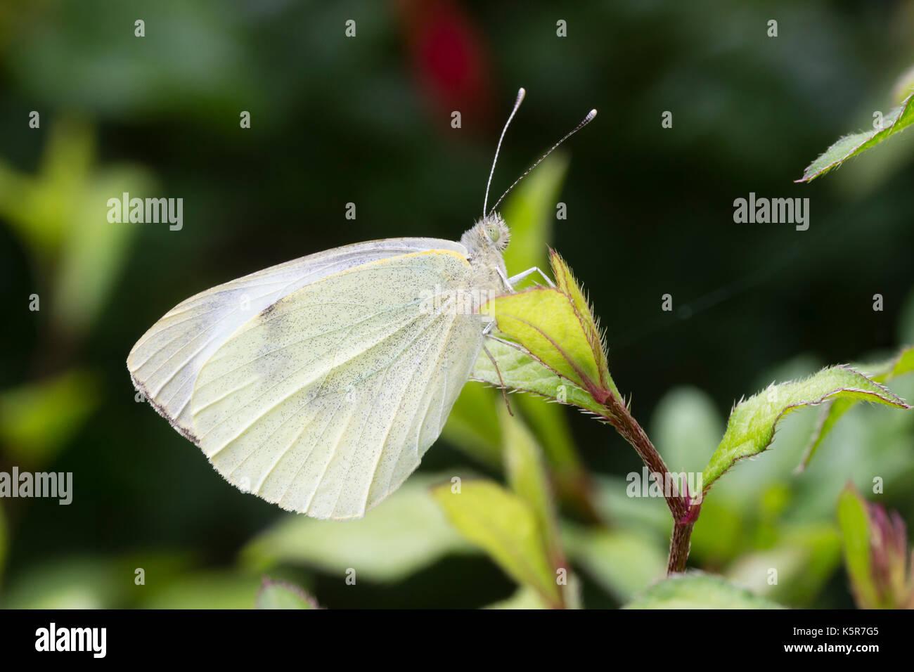 Maschio bianco grande farfalla, Sarcococca brassicae, appoggiata sul fogliame Immagini Stock
