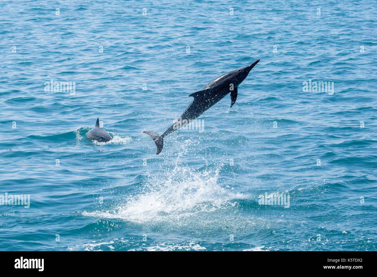 Gray Spinner dolphin o hawaiian spinner (Delfino Stenella longirostris) salto e la filatura nell'oceano pacifico al largo della costa orientale del taiwan Immagini Stock