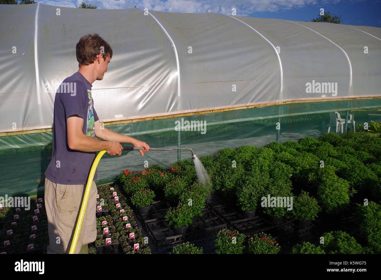 Tappo di irrigazione di piante in un tunnel di poly a lydcott vivaio. morchard vescovo, metà devon, Regno Unito. Foto Stock