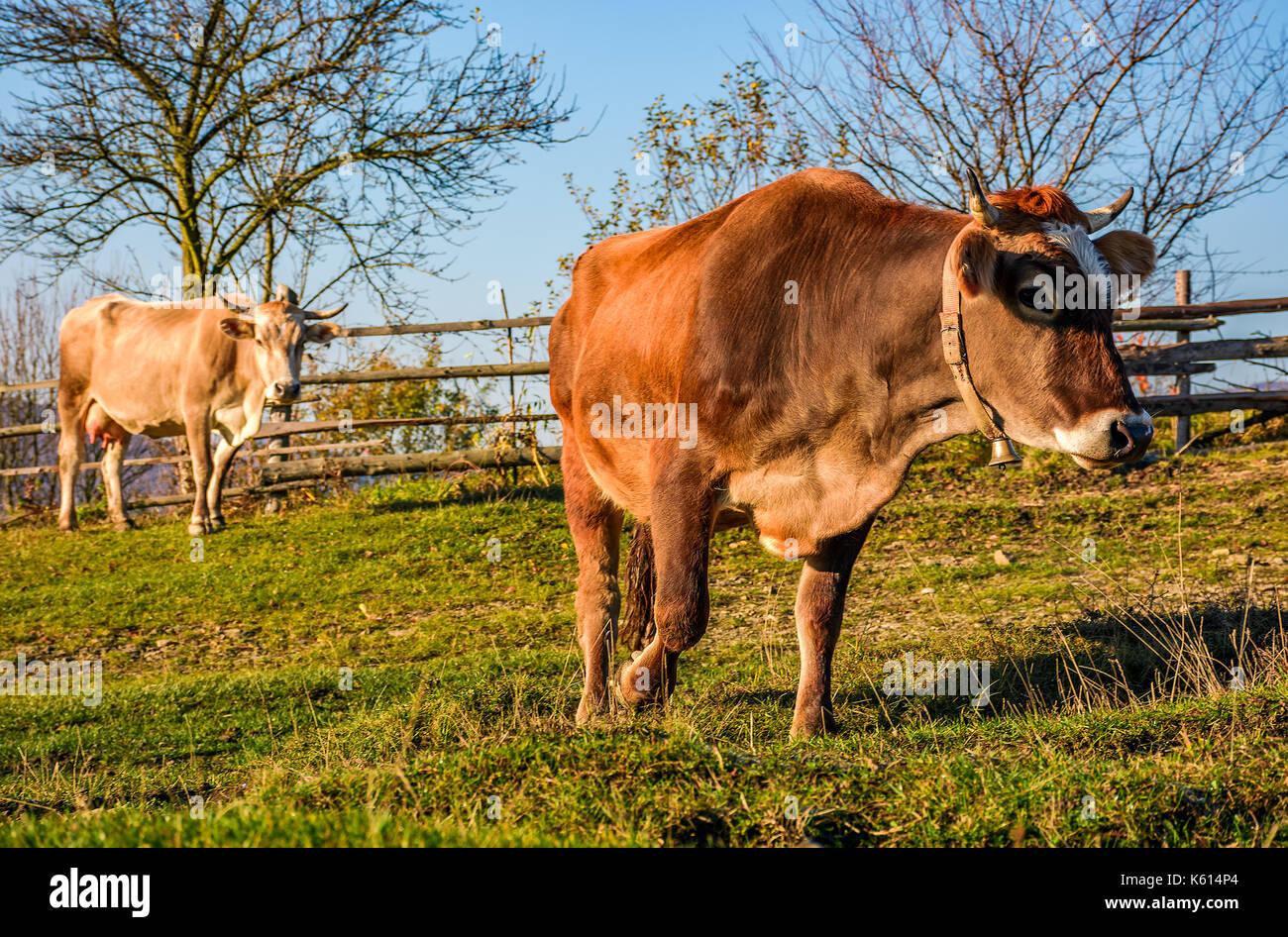 Due mucche al pascolo in autunno. incantevole episodio quotidiano di vita rurale Immagini Stock
