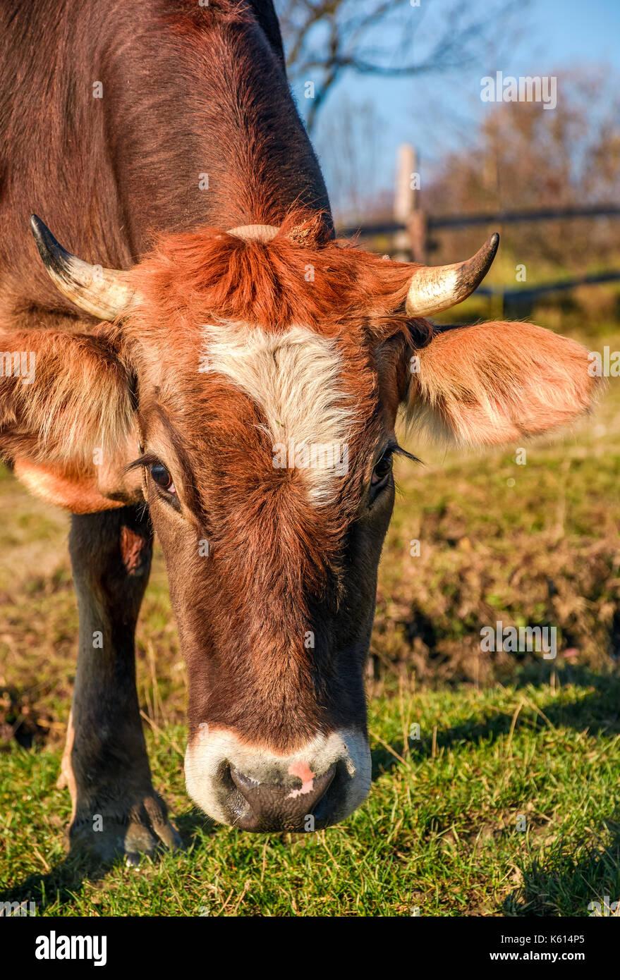 Ritratto di rufous mucca in mattina autunnale luce. incantevole episodio quotidiano di vita rurale Immagini Stock