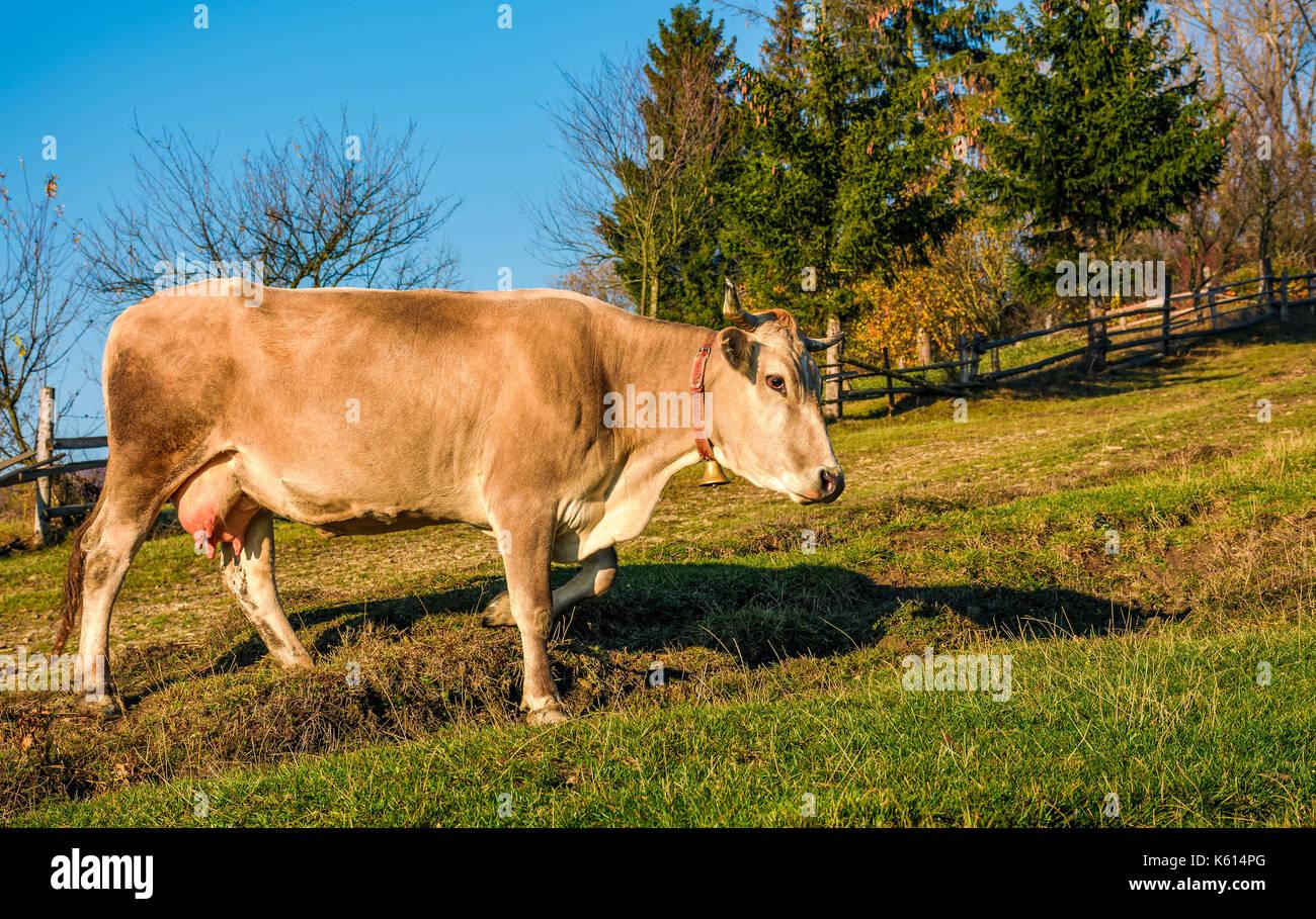 Percorsi di mucca pascolo sulle colline vicino a foresta. incantevole episodio quotidiano di vita rurale Immagini Stock