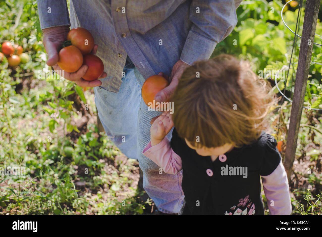 Un bambino e un uomo raccogliere pomodori da un giardino esterno. Immagini Stock