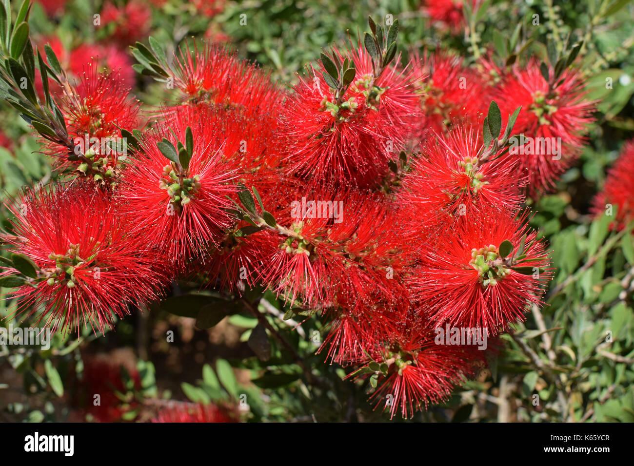 Scovolino da bottiglia callistemon pianta con fiori di colore rosso. natura dello sfondo. Foto Stock
