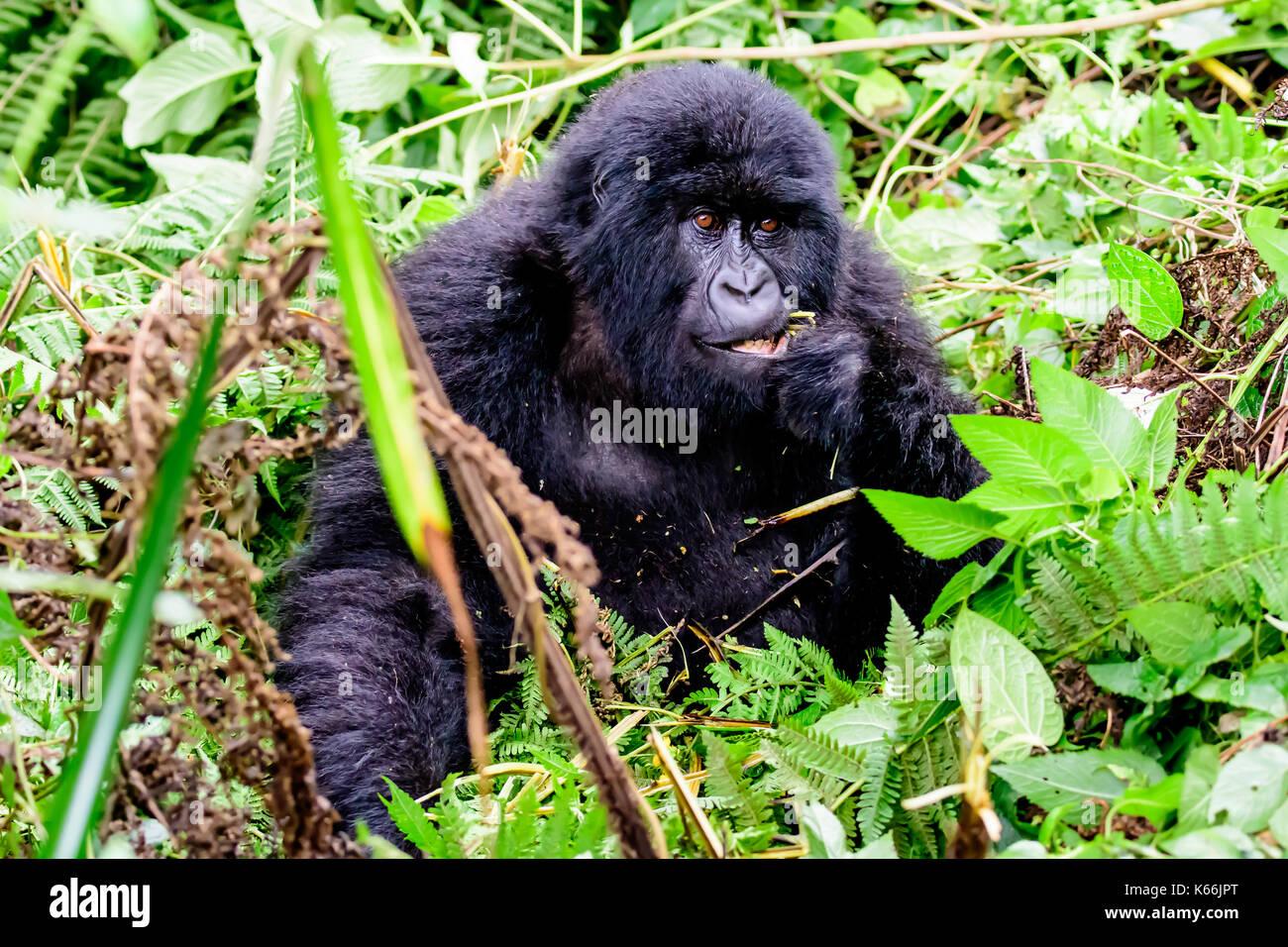 Il novellame di gorilla di montagna prestando attenzione Immagini Stock