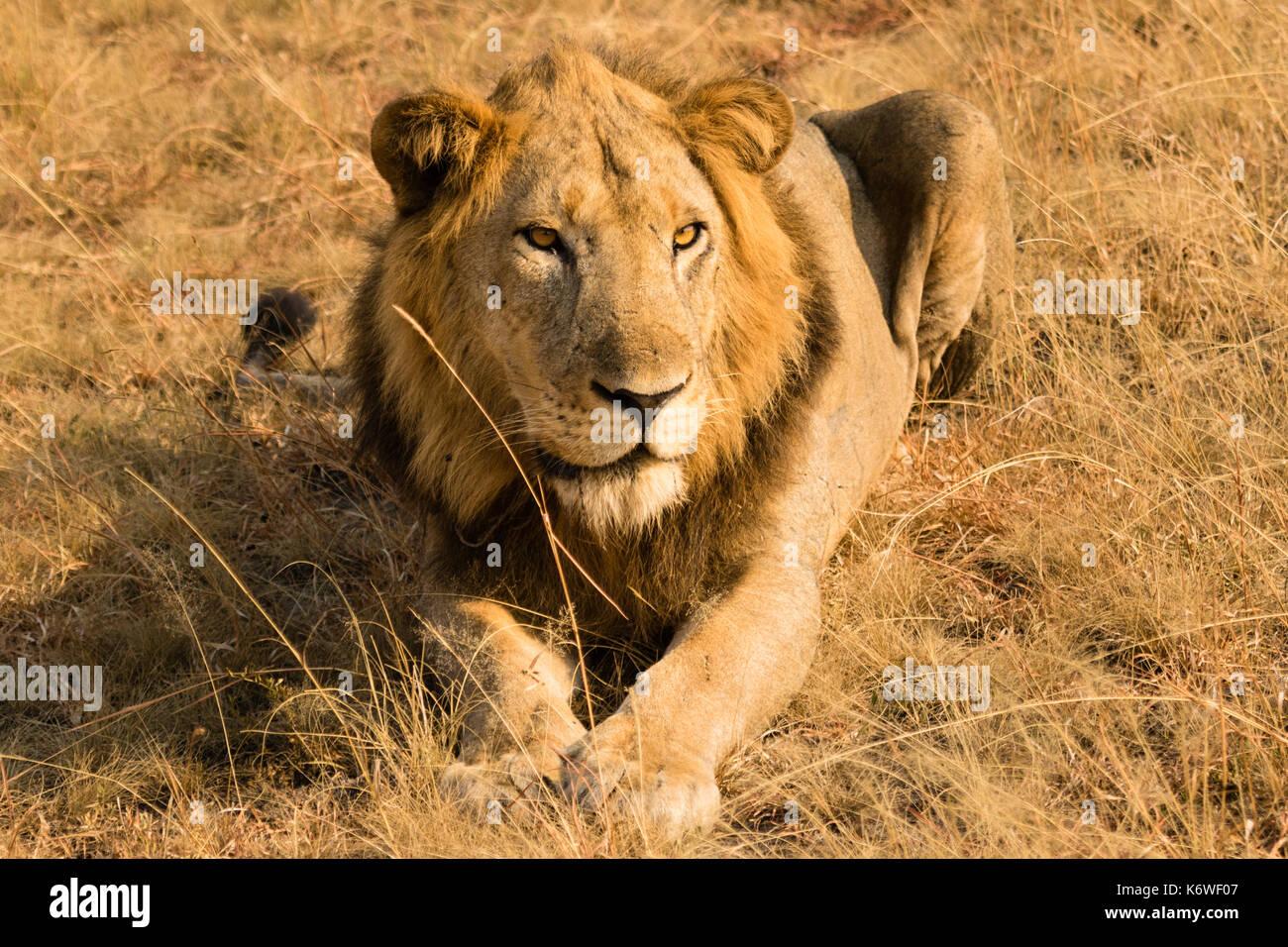 Lion (panthera leo), giacente in erba secca, Queen Elisabeth national park, UGANDA Immagini Stock