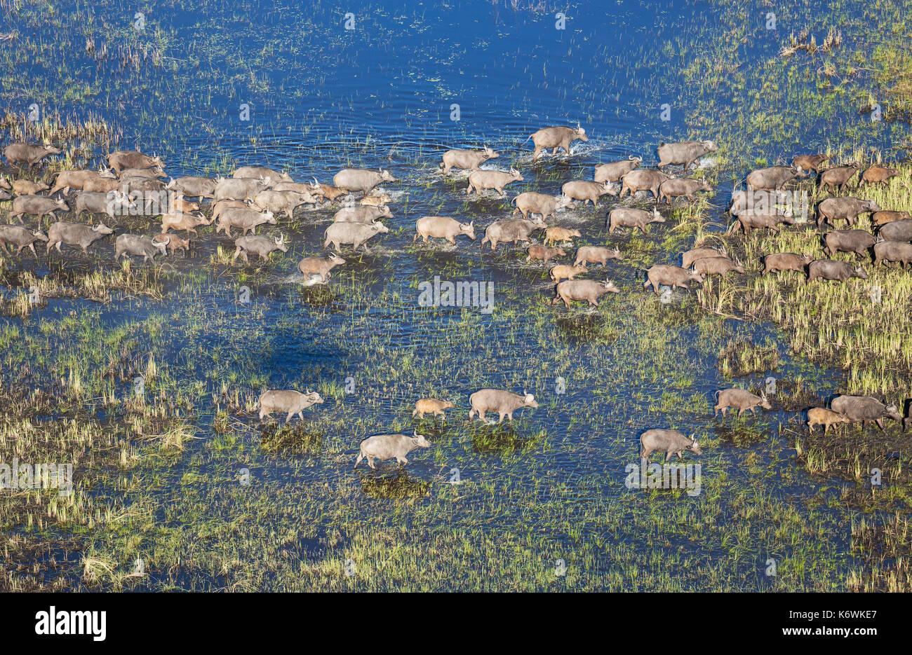 Bufali (syncerus caffer caffer), attraversando una zona di palude, vista aerea, Okavango Delta, Moremi Game Reserve, Foto Stock