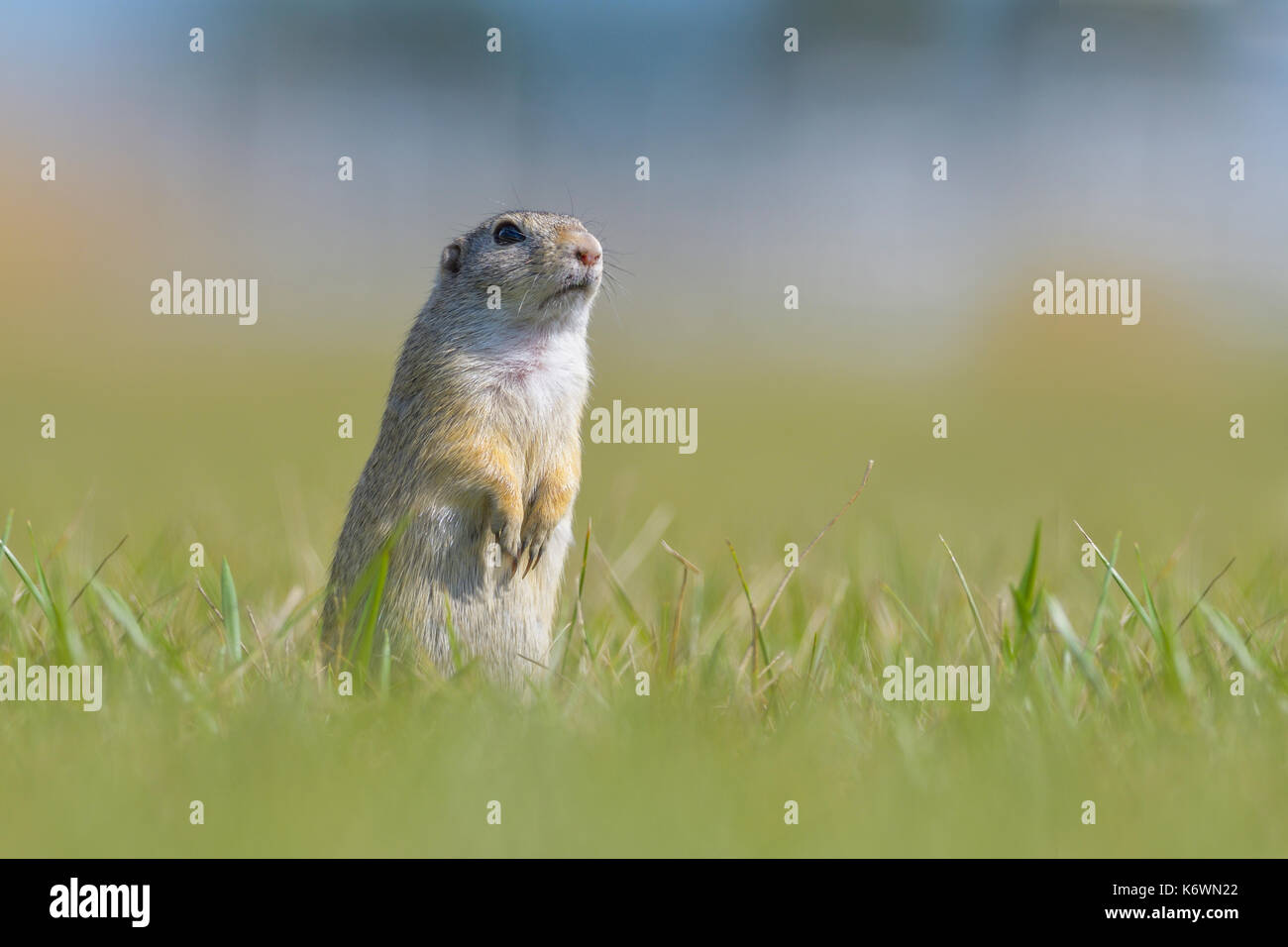 Terreno europeo scoiattolo (Spermophilus citellus), in piedi nel prato, area di vienna, Austria Foto Stock