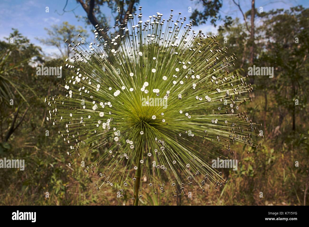 Il Brasile, Goias, Chapada dos Veadeiros Parco Nazionale di fiori selvaggi, iconico del cerrado, Eriocaulacae, Chuveirinho fiore Paepalanthus (sp Foto stock - Alamy
