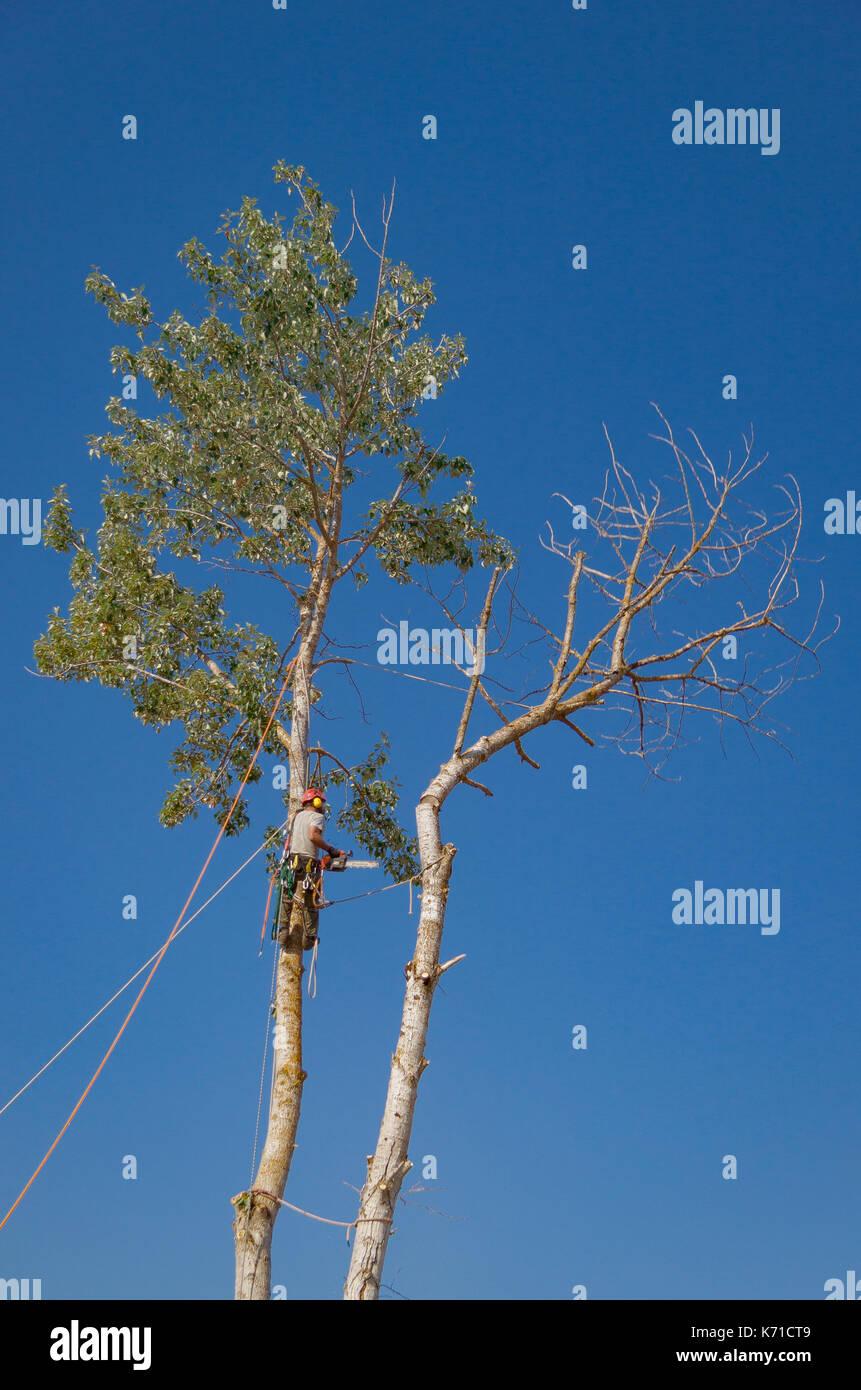 In alto di questo albero è stato tagliato, legato per evitare di passare attraverso il tetto della casa di seguito. Immagini Stock