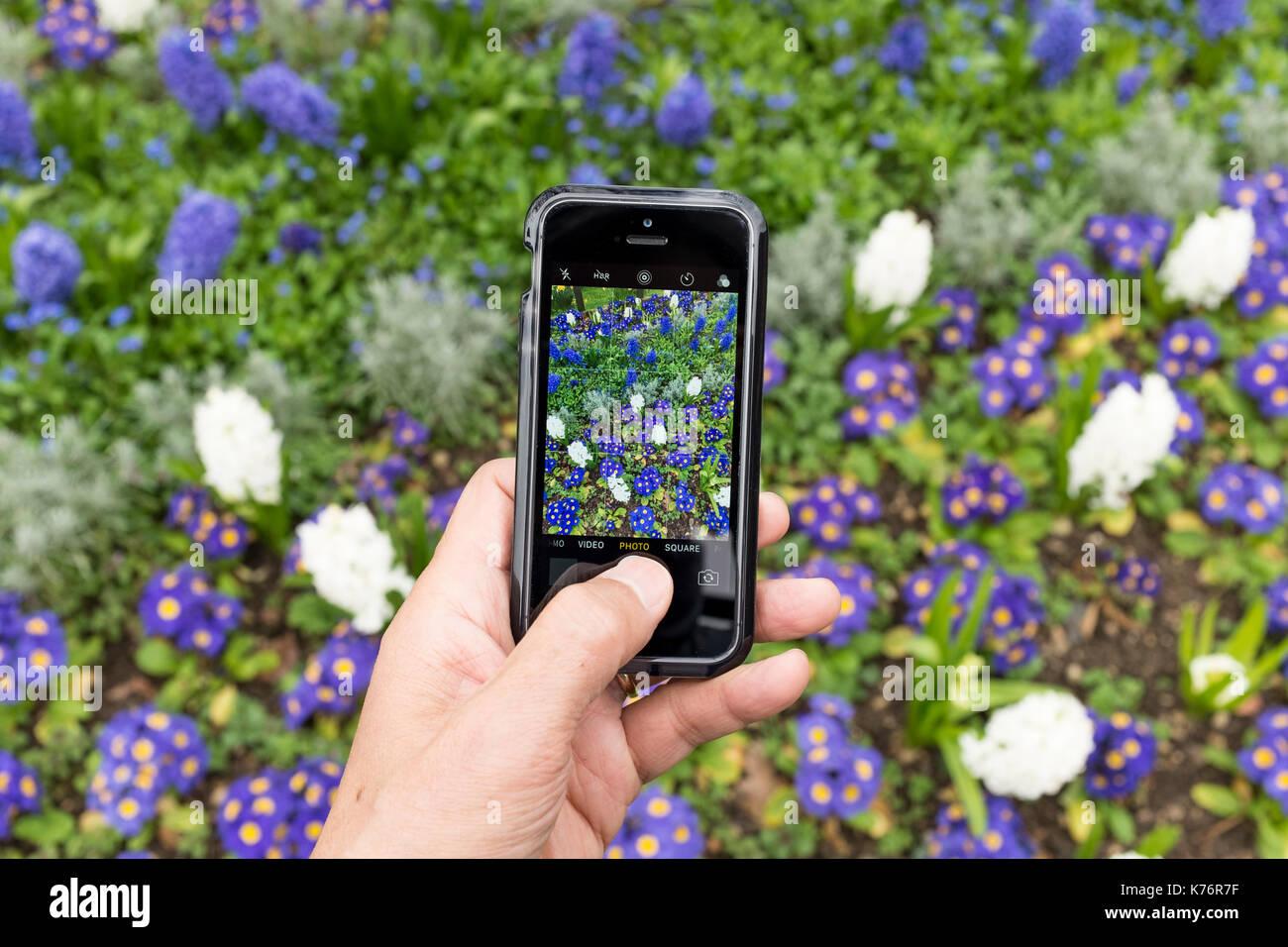 Un maschio di prendere foto di Hyacynth (Asparagaceae, Scilloideae) e polyanthus (Crescendo sfumature di blu) con un iPhone se lo smartphone Immagini Stock