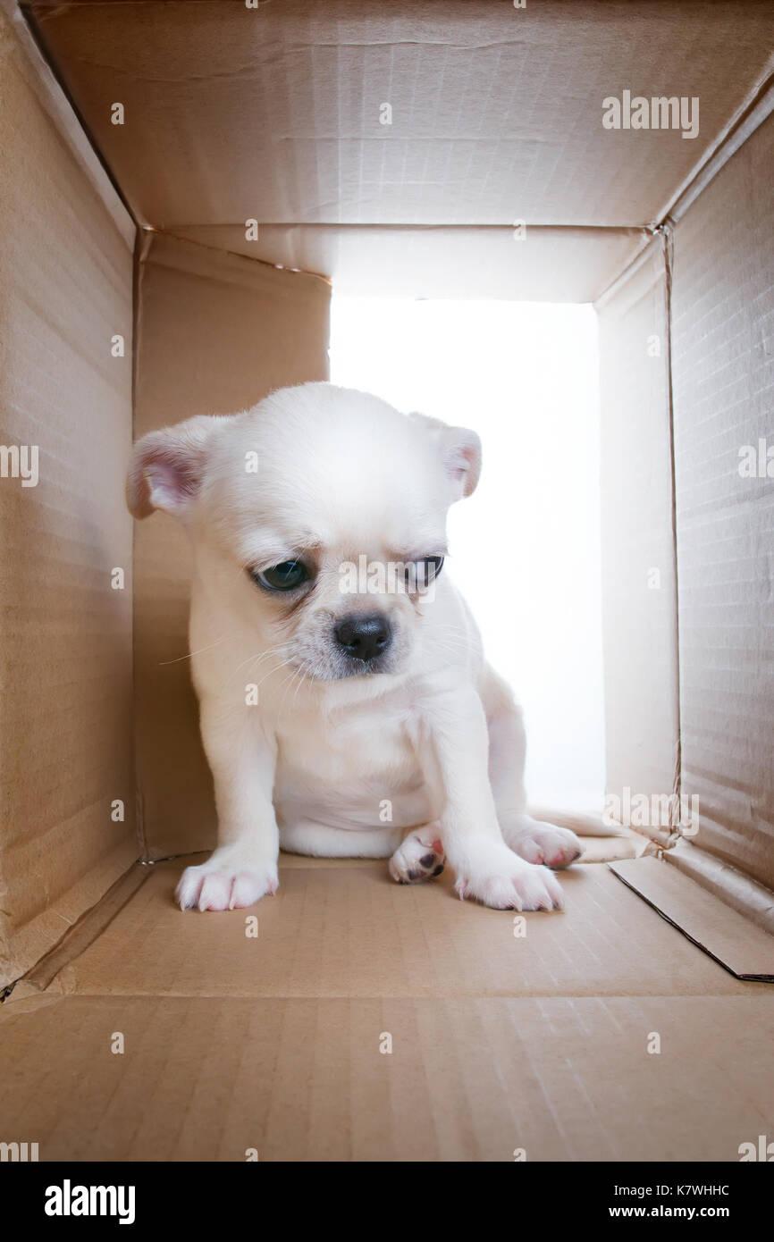 Triste cucciolo nella scatola di cartone. tristezza e solitudine, problemi di socializzazione e rifugio tema Foto Stock