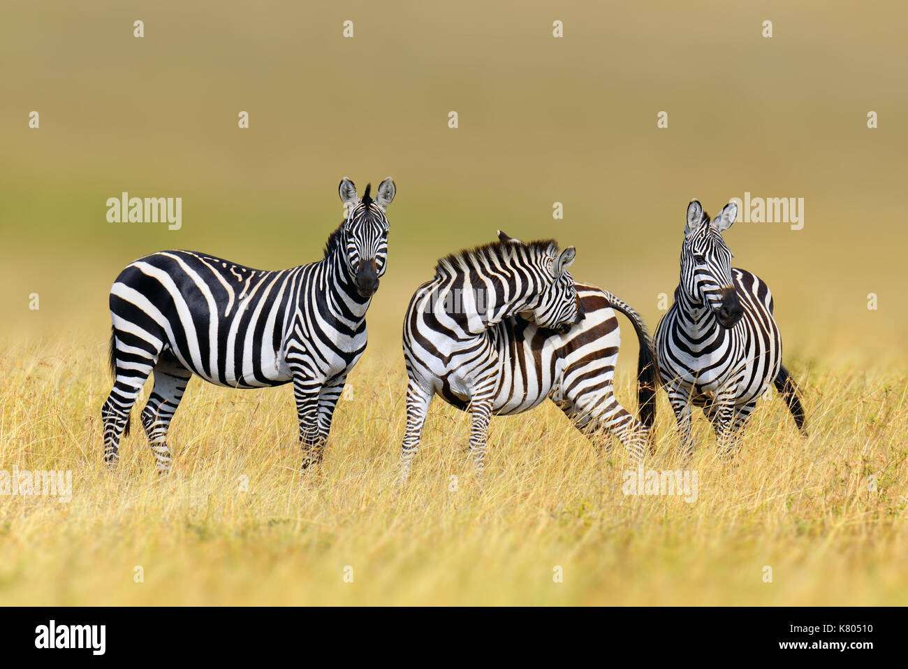 Zebra in erba habitat Natura, parco nazionale del Kenya. wildlife scena dalla natura, Africa Immagini Stock