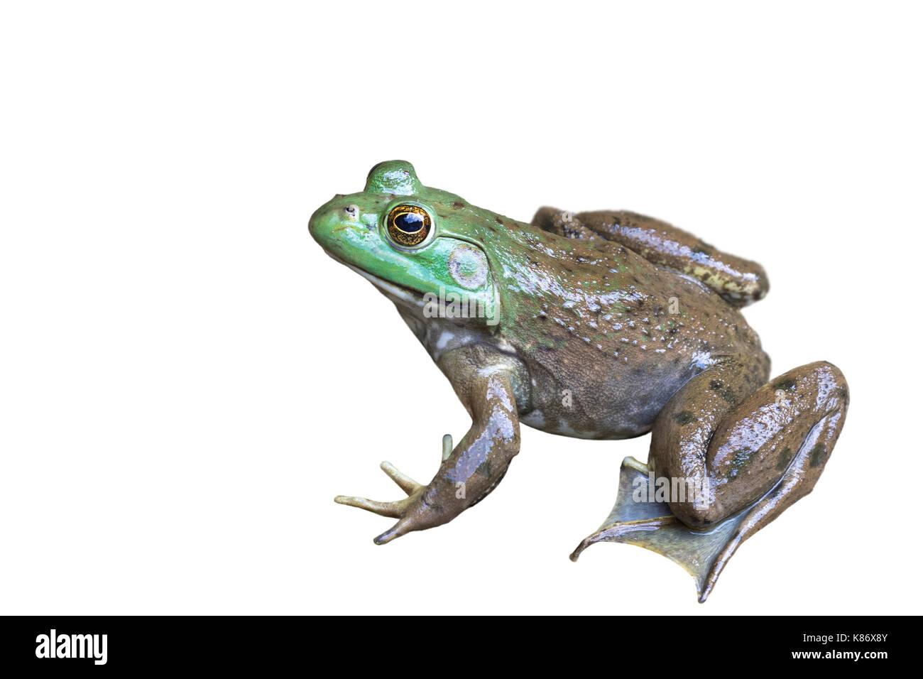 American bullfrog (Lithobates catesbeianus), isolati su sfondo bianco Foto Stock