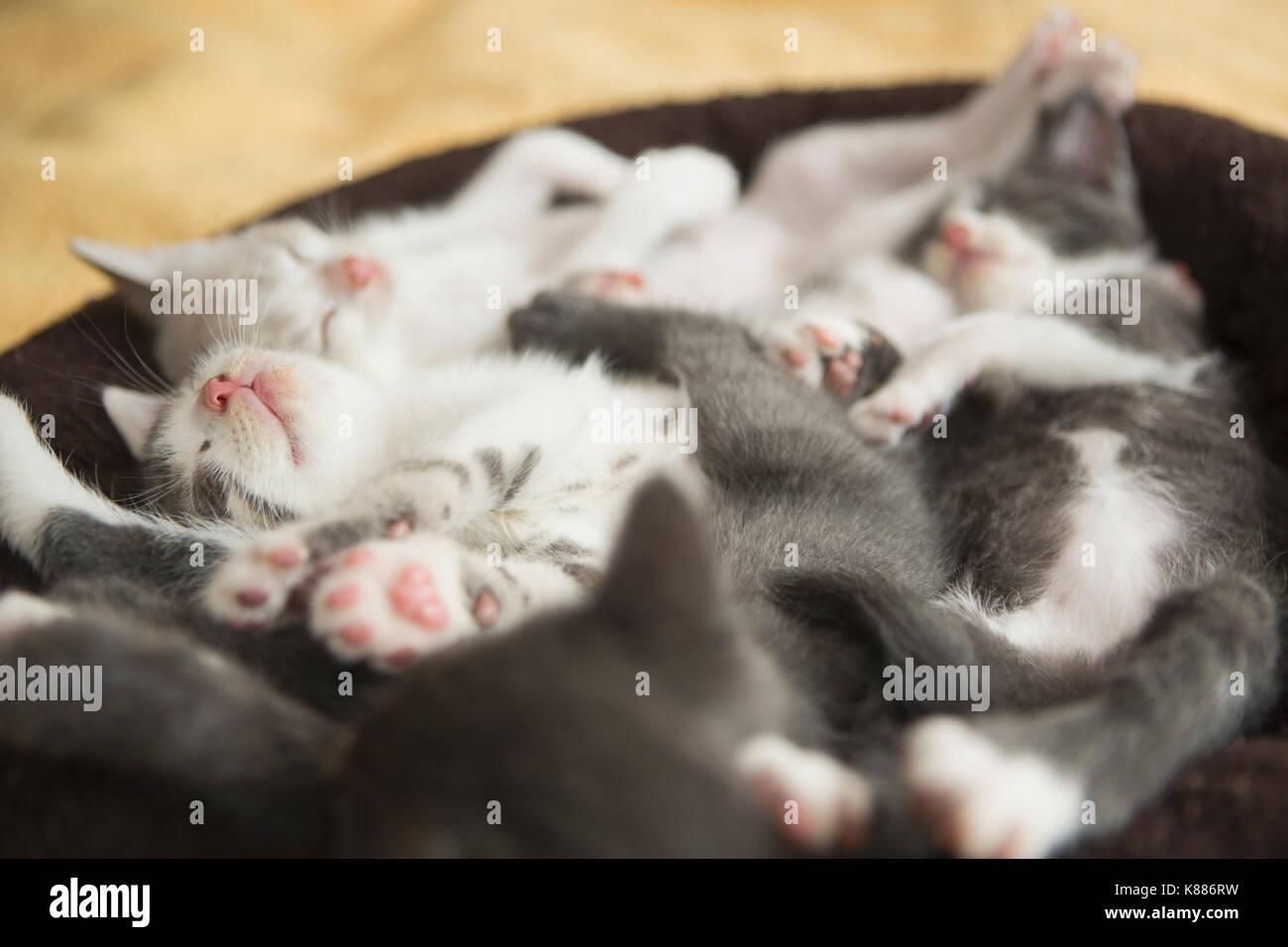 Una cucciolata di grigio e bianco gattini addormentato in un piccolo gatto  letto.