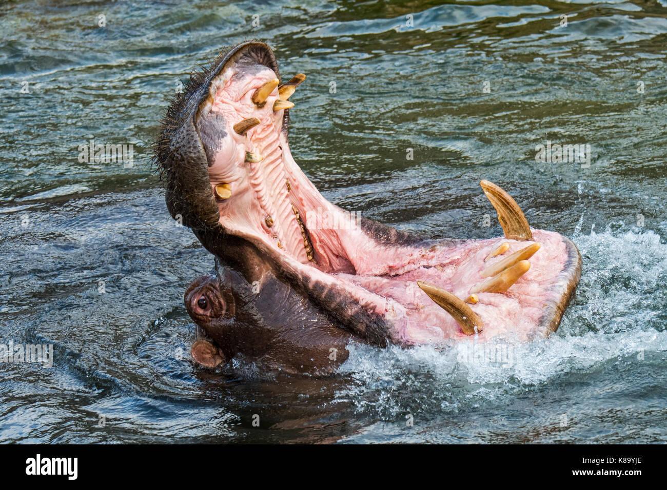 Comuni / ippopotamo ippopotamo (Hippopotamus amphibius) nel lago che mostra denti enormi e grandi zanne canino in Immagini Stock