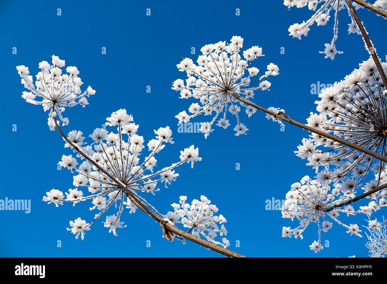 Come Seccare Le Piante abstract fiori nevoso sul cielo azzurro sfondo. seccare