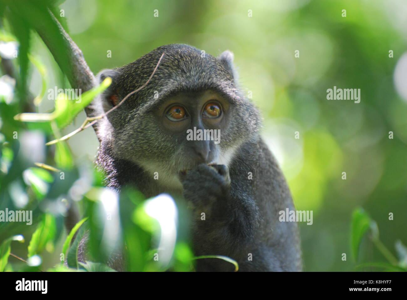 Timida Sykes scimmia nella giungla Immagini Stock