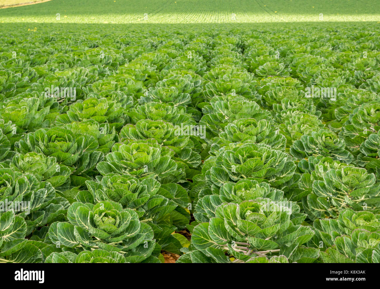 Pianta Cavolini Di Bruxelles chiusura del file di cavoli di bruxelles piante che crescono