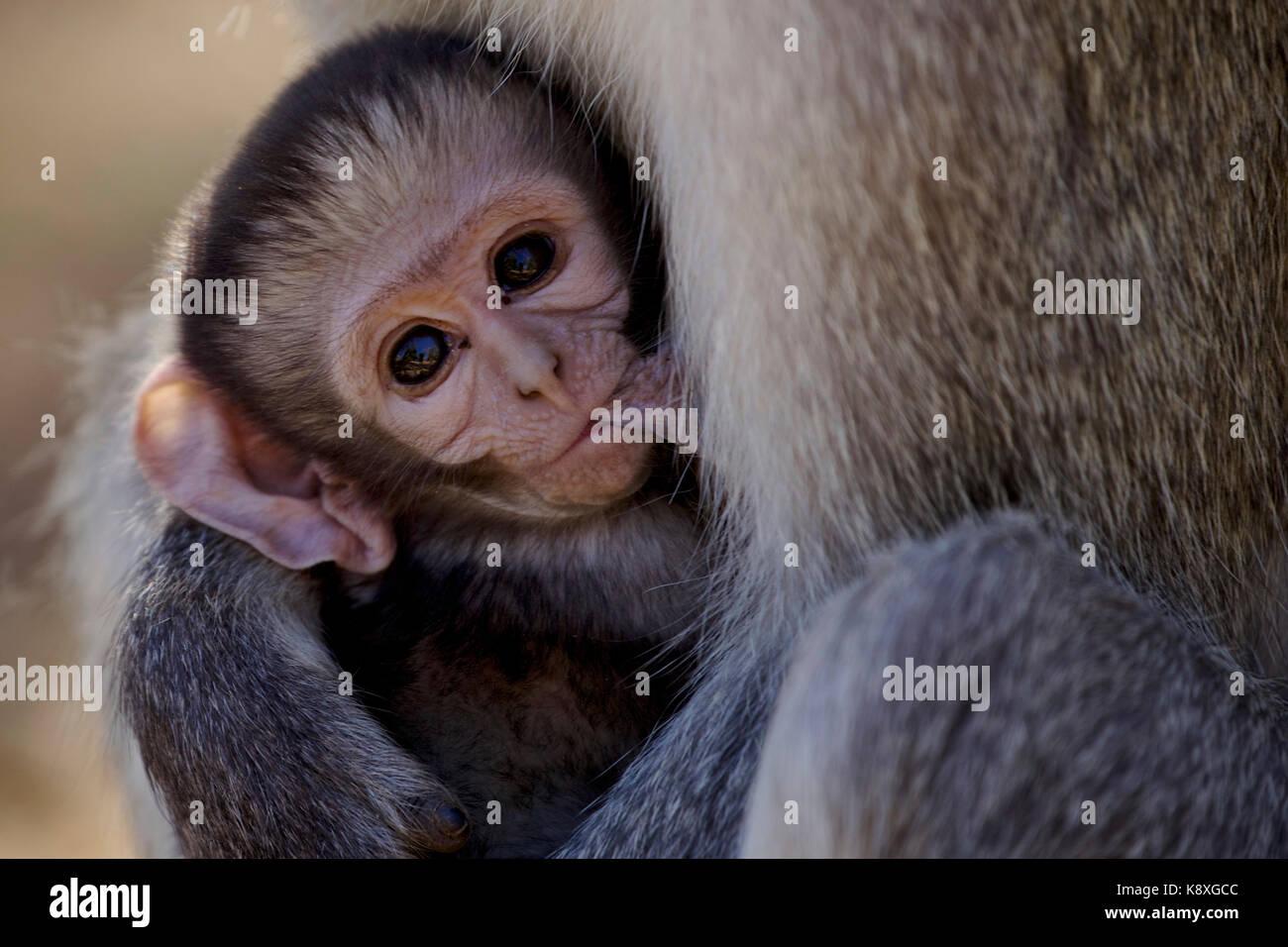 Il momento della colazione per un bambino vervet monkey (Africa) Immagini Stock