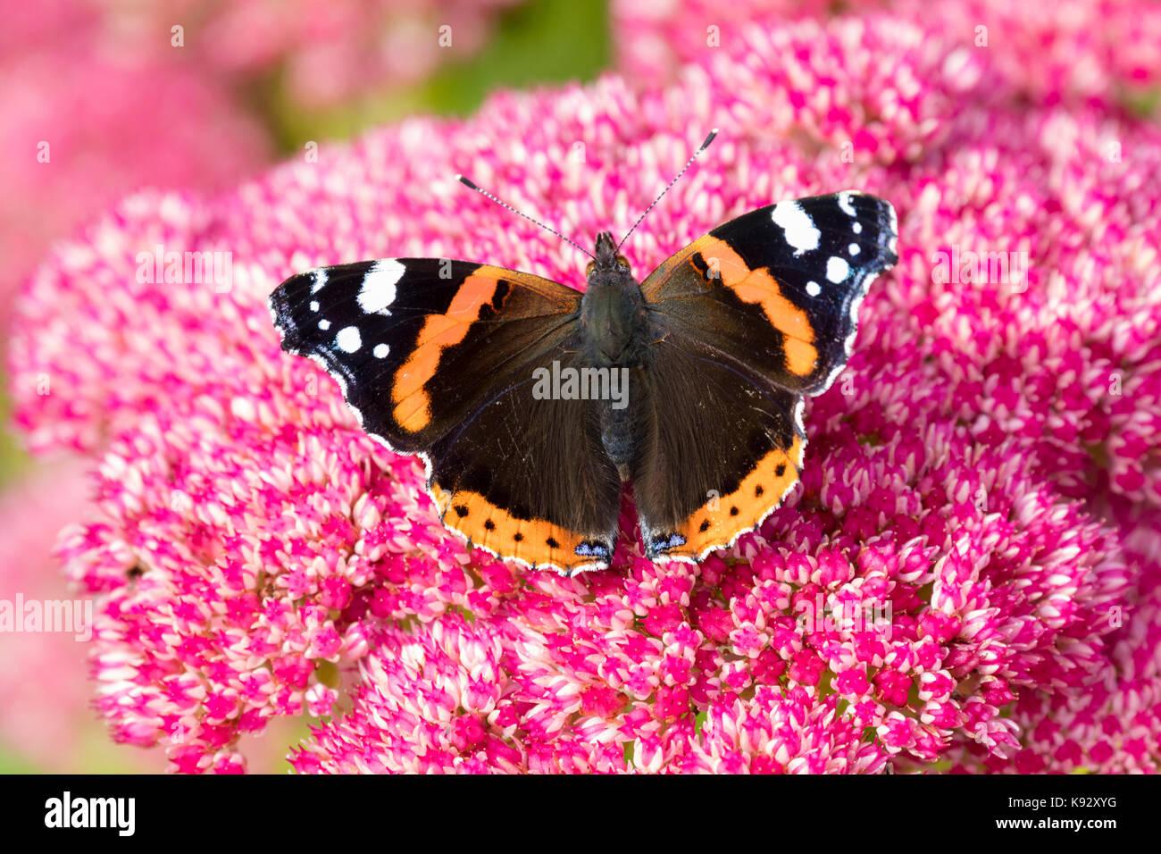 Adulto Red admiral butterfly, Vanessa Atalanta, alimentando in settembre fiori di Sedum spectabile Immagini Stock
