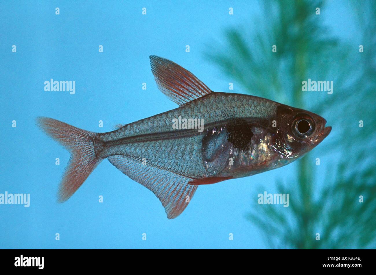 Tetra serpae, hyphessobrycon eques. tropicale pesce di acqua dolce dal Brasile, Perù, Paraguay, Bolivia e Argentina. Immagini Stock