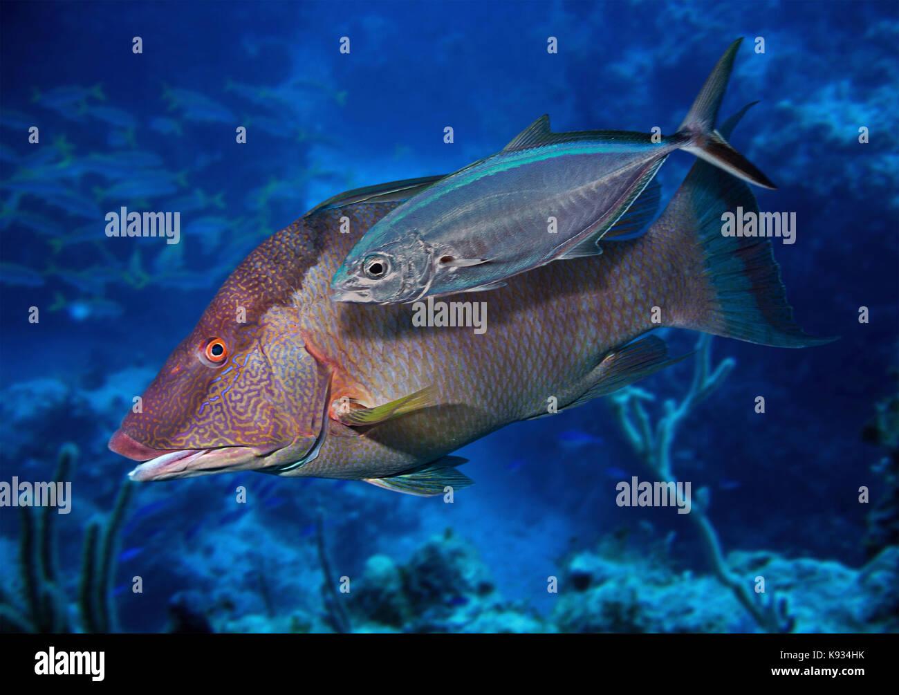 I capretti bar jack, caranx ruber, affiancamento a un hogfish, lachnolaimus maximus. Il giovane jack nasconde vicino Immagini Stock