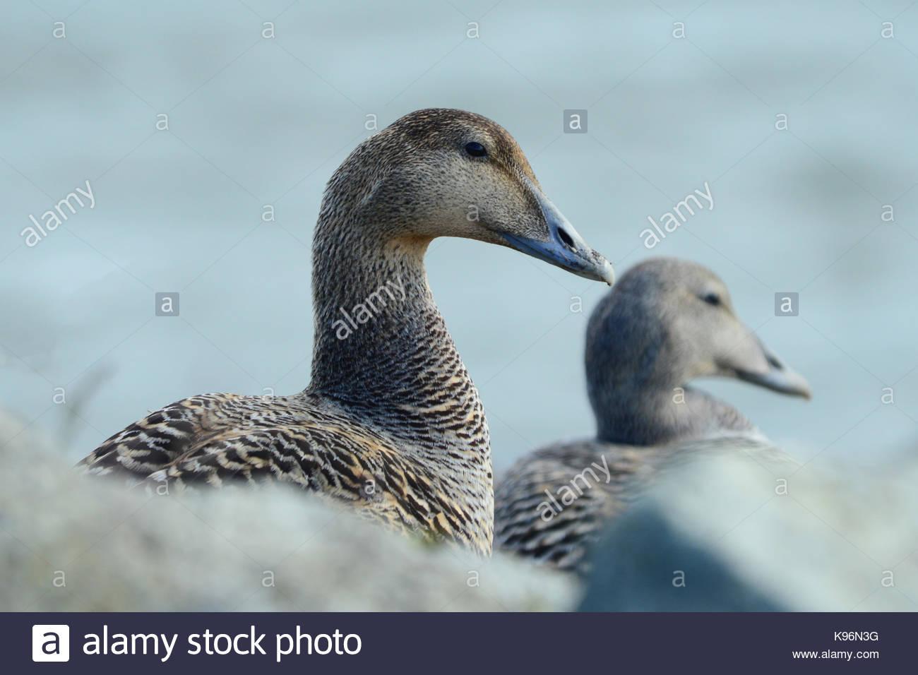 Una femmina di eider duck, Somateria mollissima. Immagini Stock