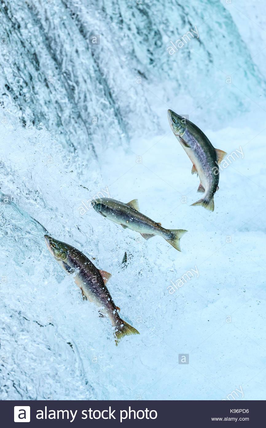 Orso bruno la pesca al Salmone Sockeye sotto Brooks Falls. Immagini Stock