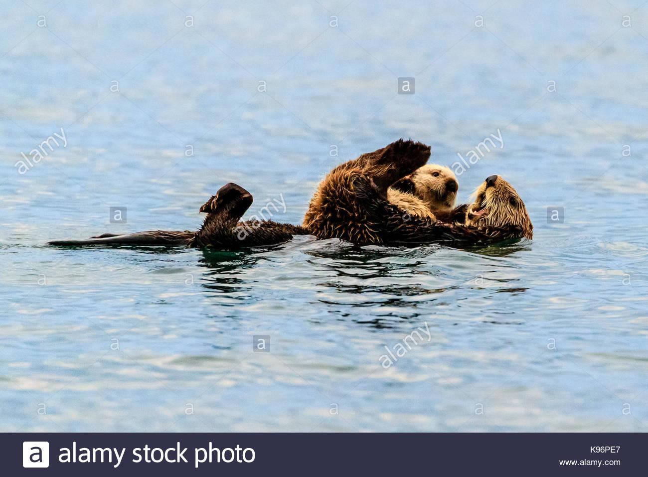 Sea Otter, Enhydra lutris, madre e pup in Kachemak Bay. Immagini Stock