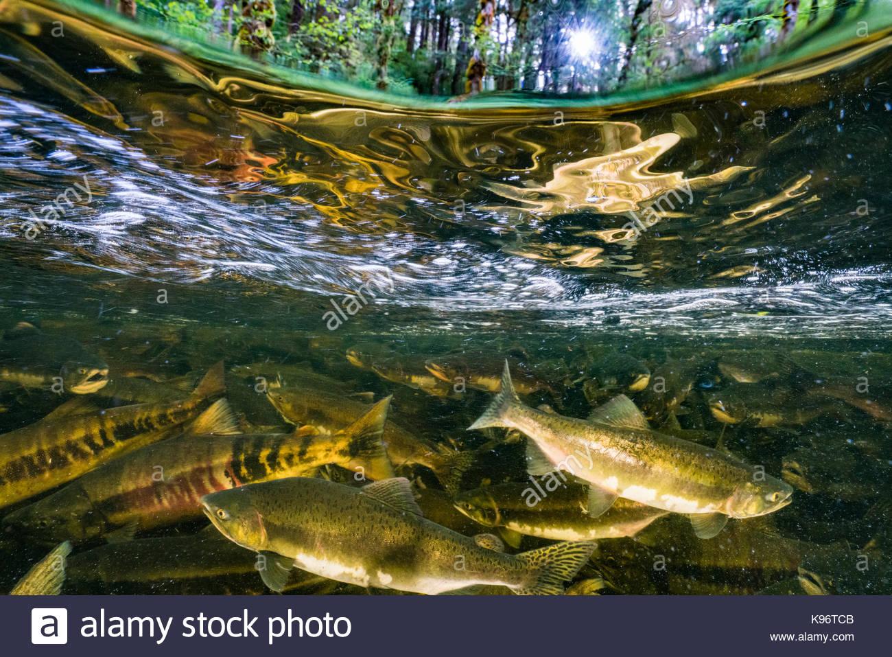 Scuola di salmone chinook nuotare a monte a competere per il vivaio. Immagini Stock