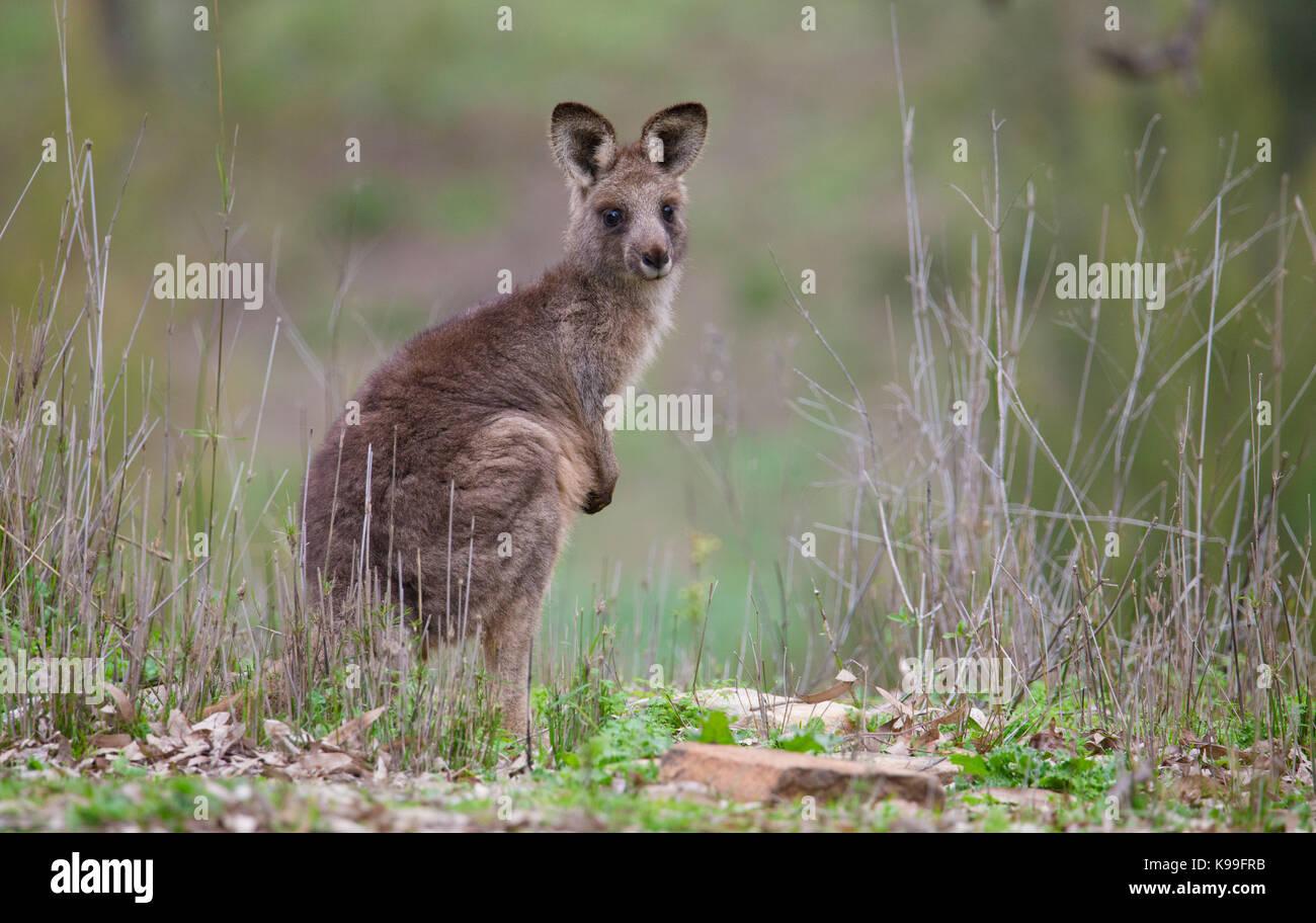 Orientale Canguro grigio (Macropus giganteus) joey, NSW, Australia Immagini Stock