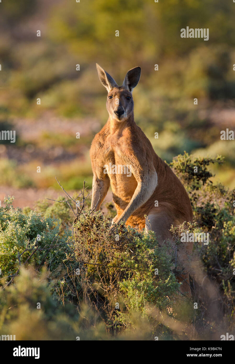 Maschio di canguro rosso (Macropus rufus), Sturt National Park, outback NSW, Australia Immagini Stock