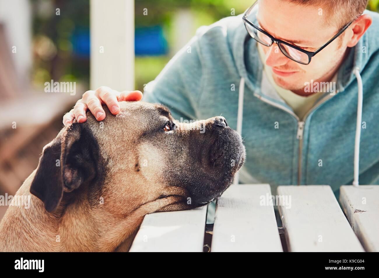 Dedicato look di enorme cane. amicizia tra il giovane uomo e cane corso cane. Immagini Stock