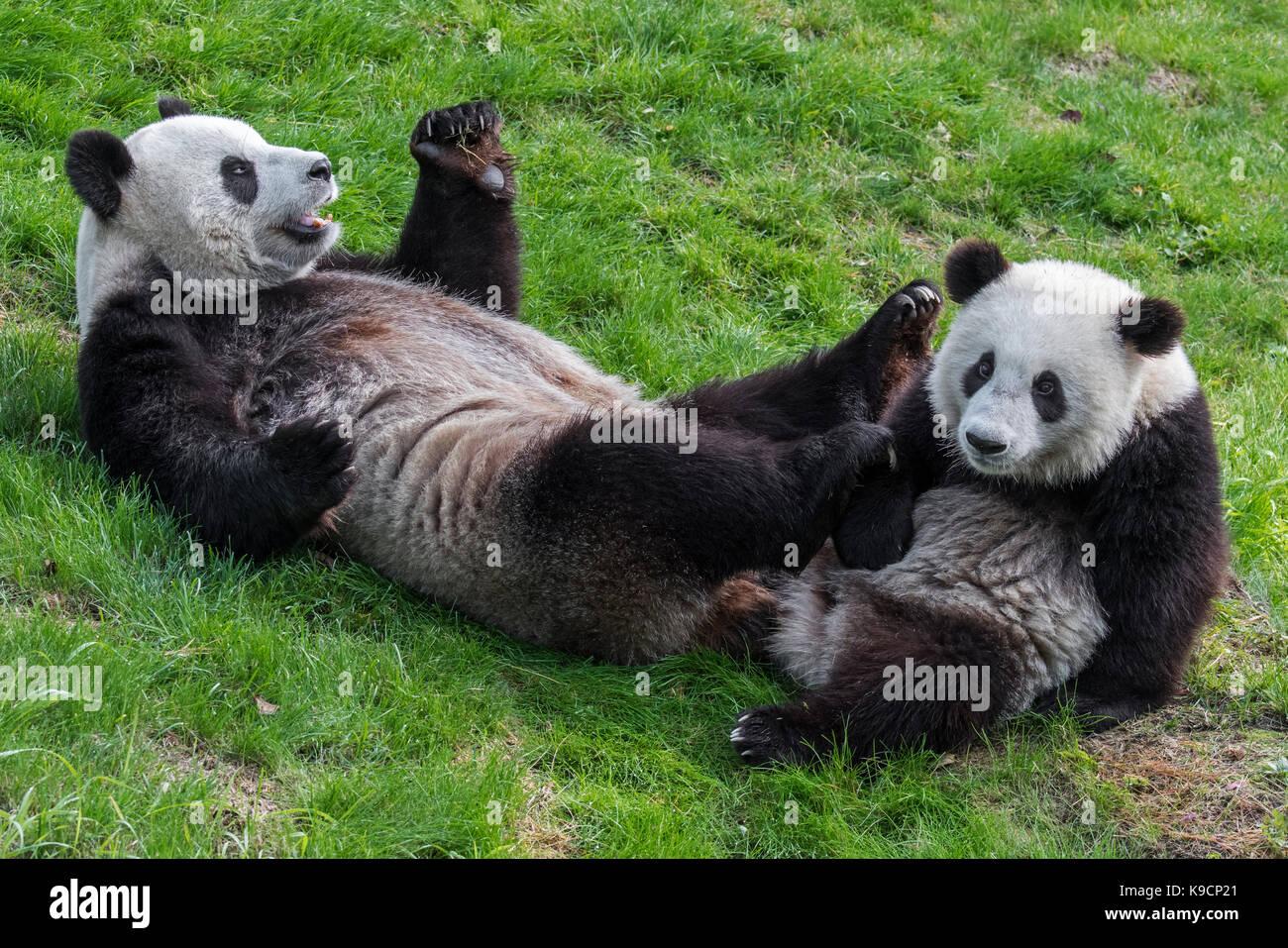 Panda gigante (Ailuropoda melanoleuca) femmina con un anno di vecchio cub in zoo Foto Stock