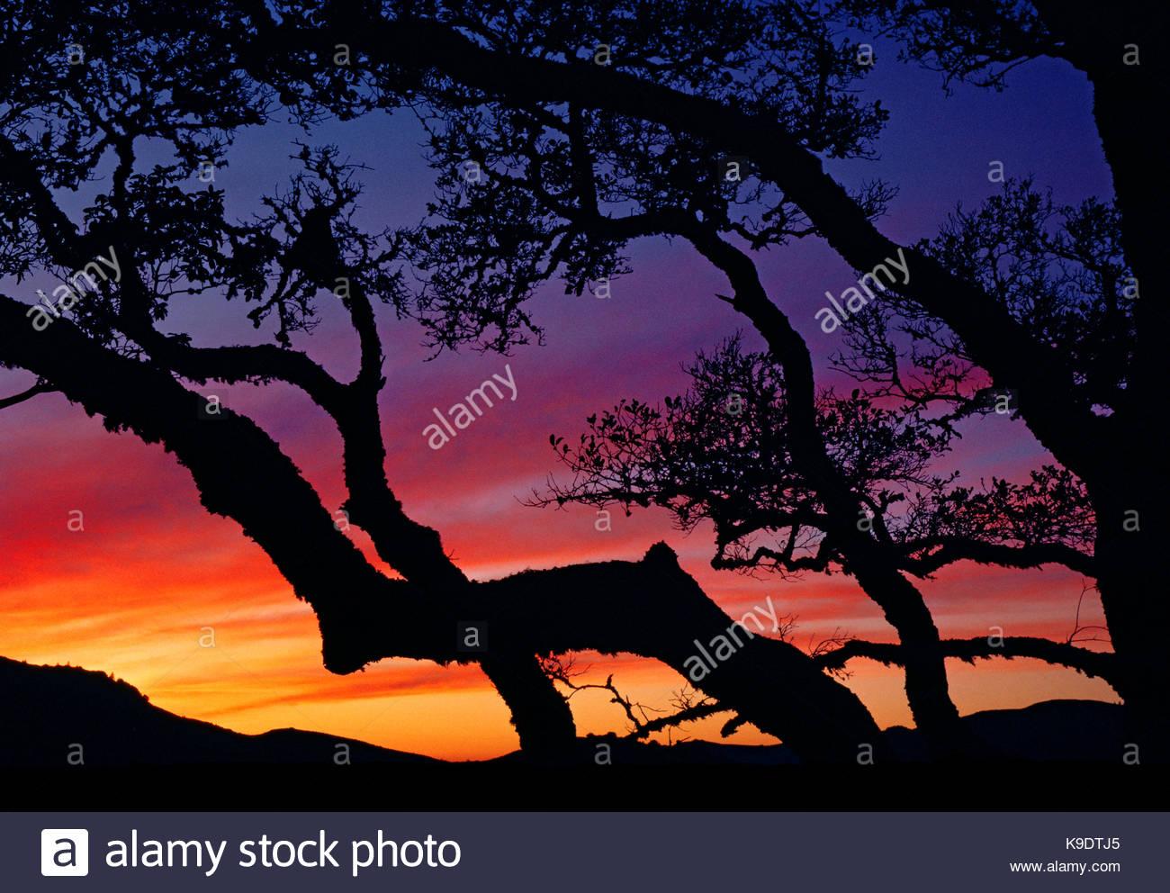 Oak al tramonto, Marin County spazio aperto, California Immagini Stock