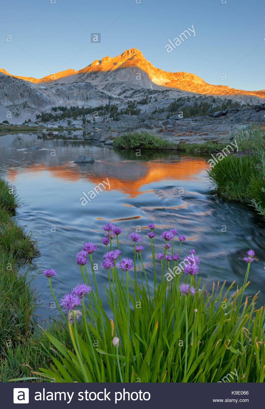 Cipolle selvatiche, Greenstone Lago e Picco del Nord, Hoover Wilderness, Inyo National Forest, California Immagini Stock