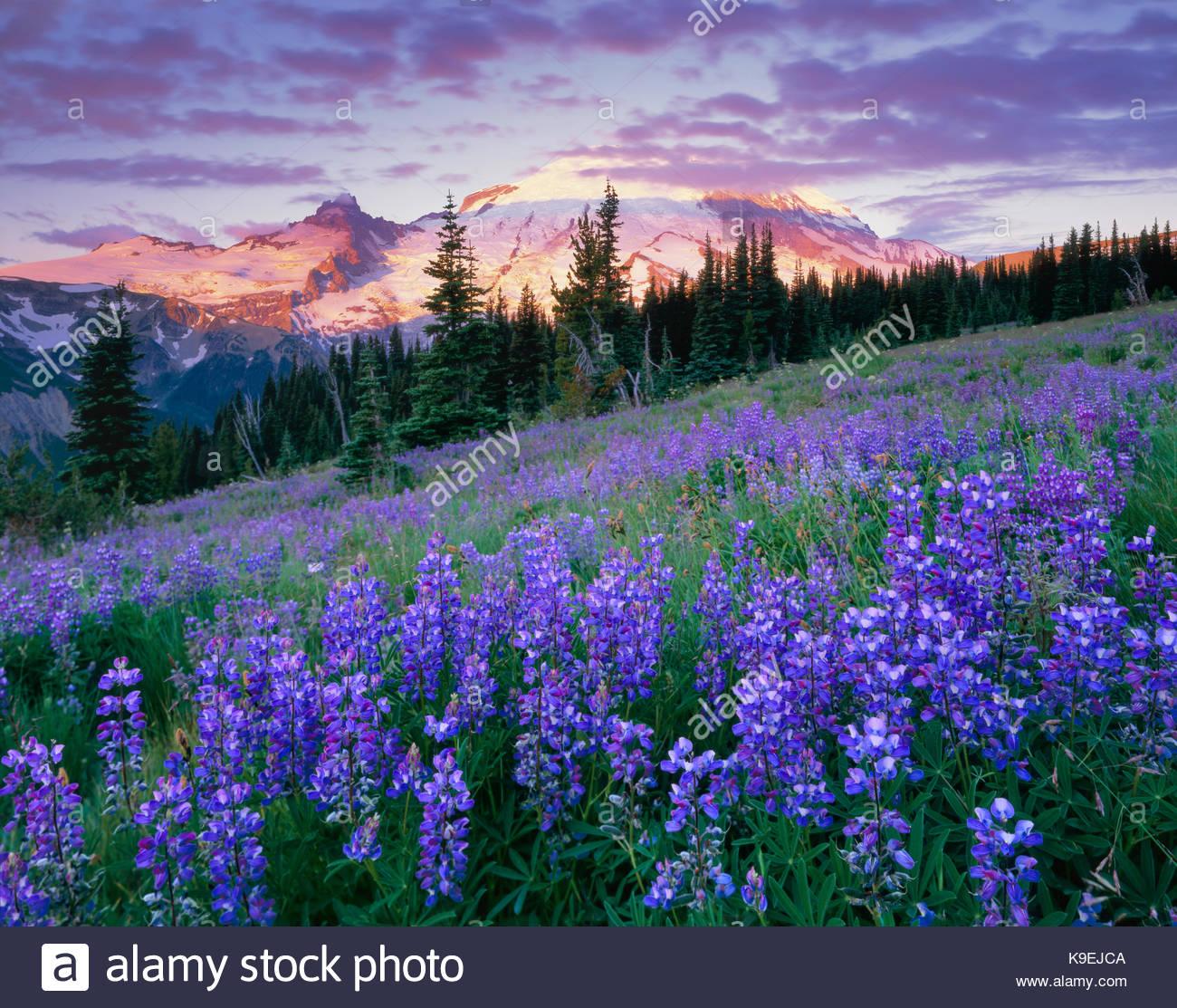 Fiori di campo all'alba, e il Parco Nazionale del Monte Rainier, Washington Immagini Stock