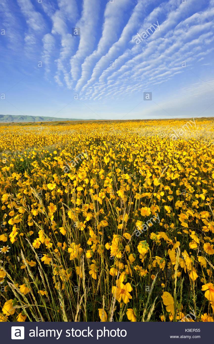Altocumulus nuvole e Coreopsis presso Sunrise, Carrizo Plain monumento nazionale, California Foto Stock