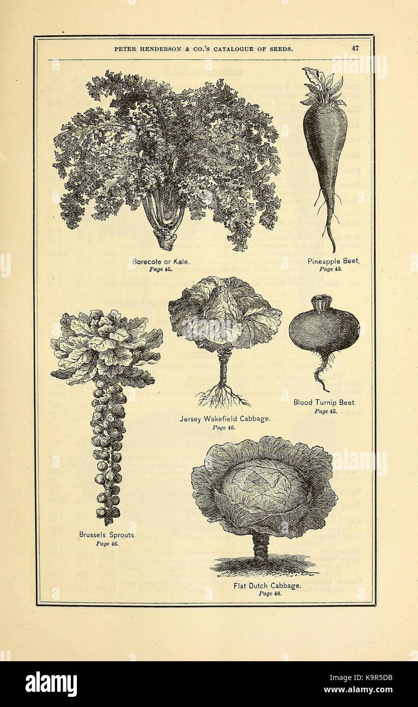 30 semi Johnsons mondo botanics FIORE-dodecatheon LUCE ROSSA
